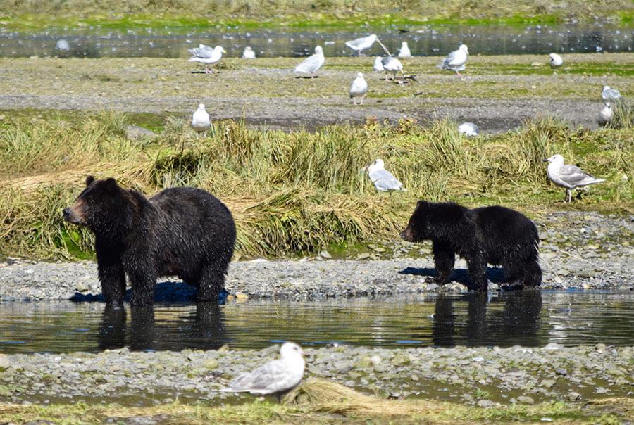 fortress-of-bears-alaska-tours